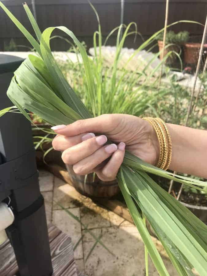 hand holding lemongrass leaves