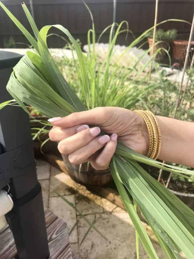 hand holding lemongrass leaves